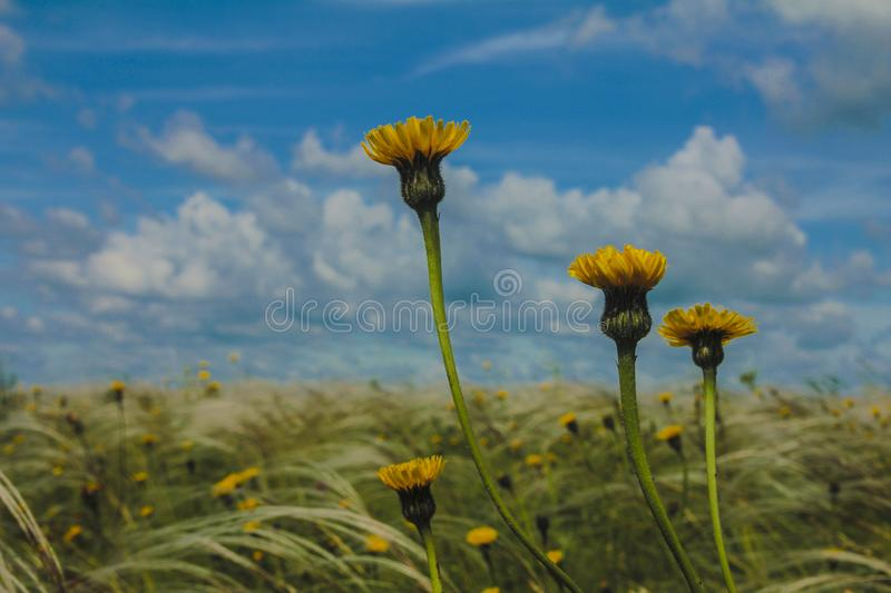 Field with feather grass and yellow flowers against a blue sky with clouds royalty free stock photos