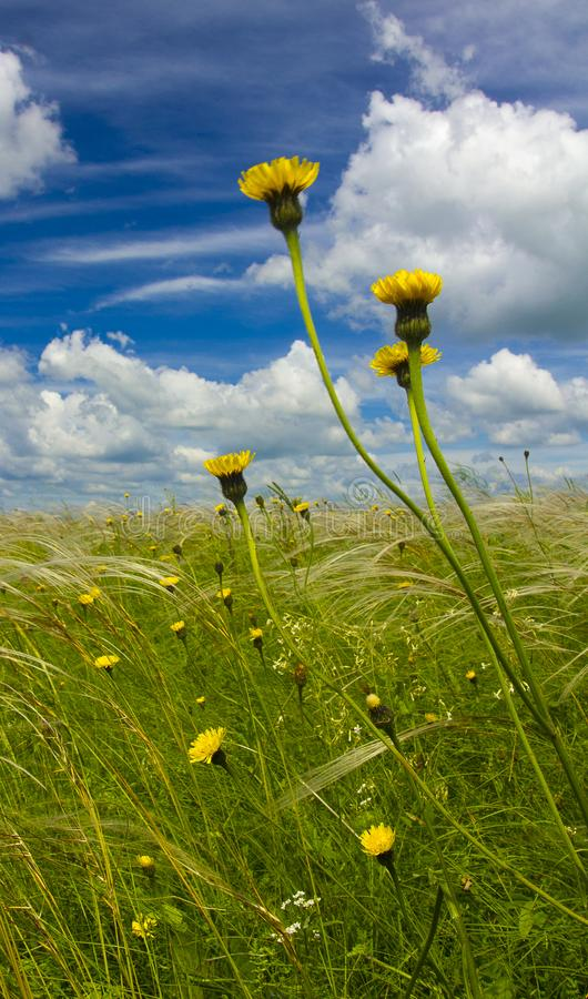 Field with feather grass and yellow flowers against a blue sky with clouds stock images