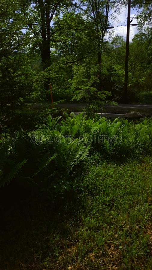 Field of ferns royalty free stock image