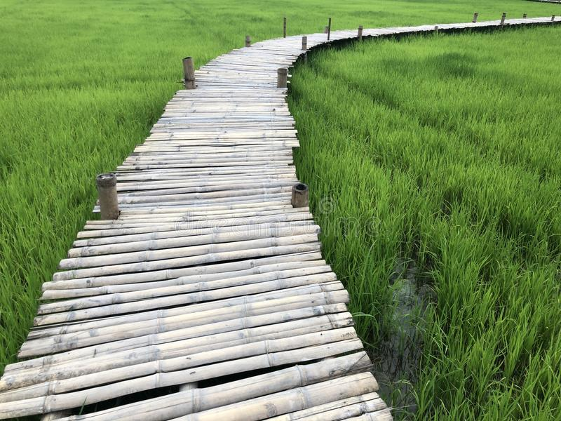 Field Filled with green rice And there is a long bridge. stock image