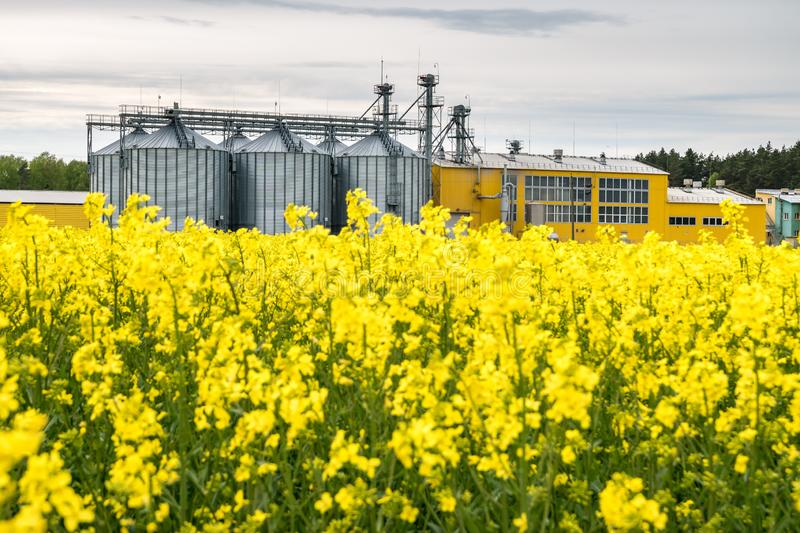 Field of flower of rapeseed, canola colza in Brassica napus on agro-processing plant for processing and silver silos for drying royalty free stock photography