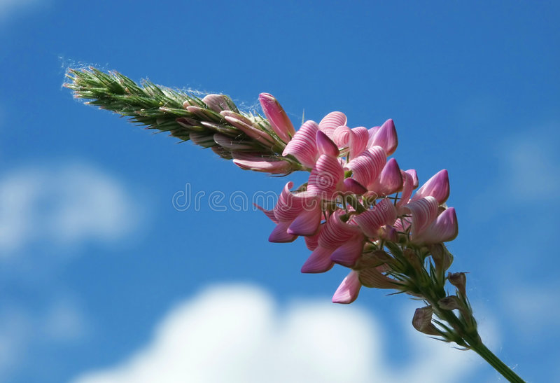 Field flower and the sky royalty free stock images