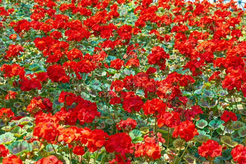 Field flowerbed abundant flowering red geranium. Summer time stock photos