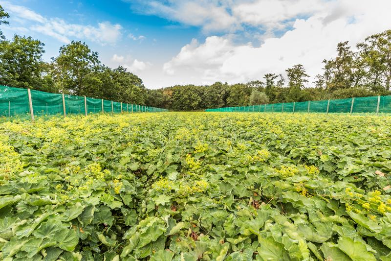 Field with flowering Alchemilla mollis. Field with lady`s mantle, Alchemilla mollis, a perennial with soft hairy green leaves and soft yellow flowers for the stock photography
