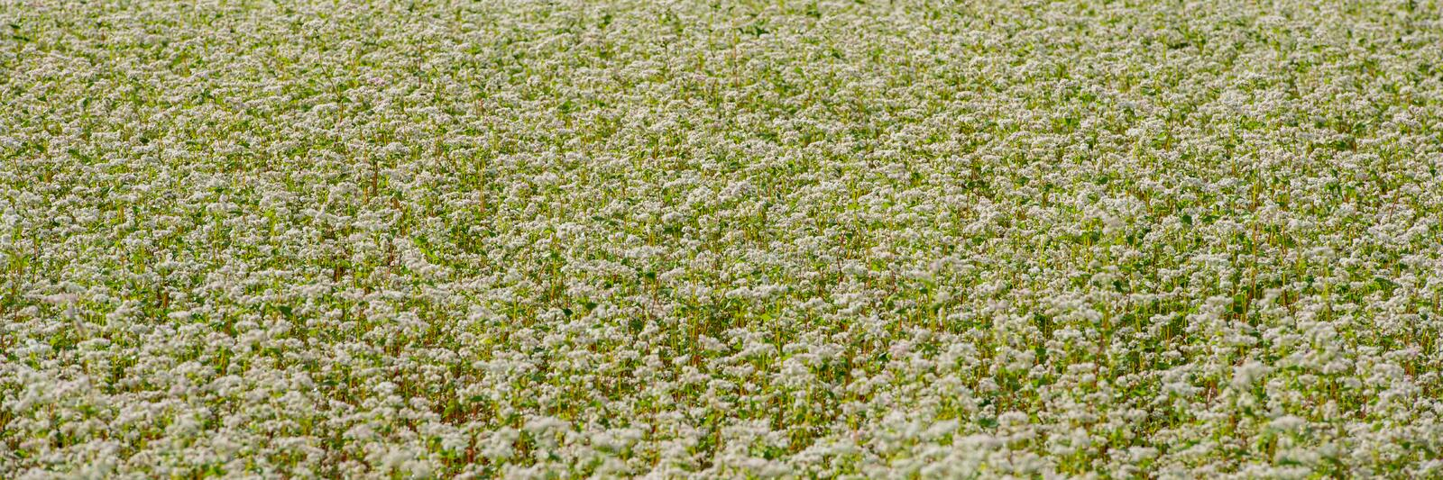 Field of flowering buckwheat. Banner for design stock photography