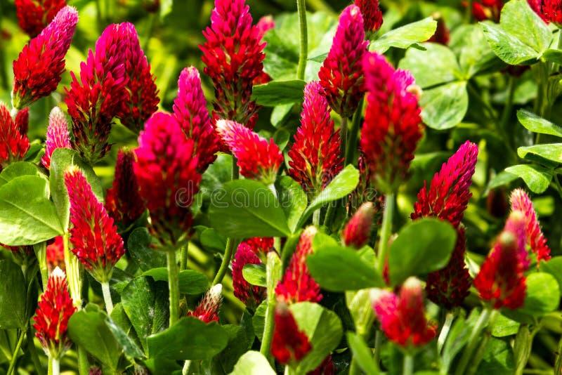 Field of flowering crimson clovers Trifolium incarnatum Rural landscape stock image