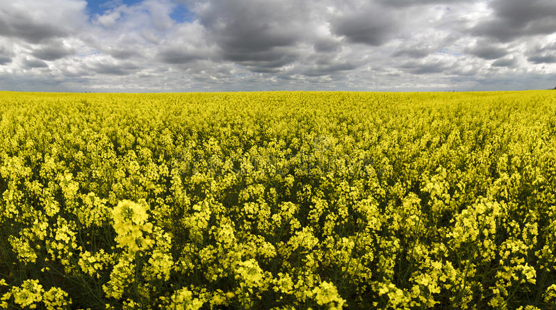 Field of flowering oilseed under overcast stock photography