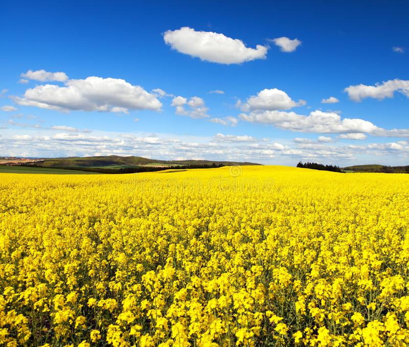 Field of flowering rapeseed canola or colza. Golden field of flowering rapeseed canola or colza with beautiful cloudy sky - brassica napus - seed is plant for stock images