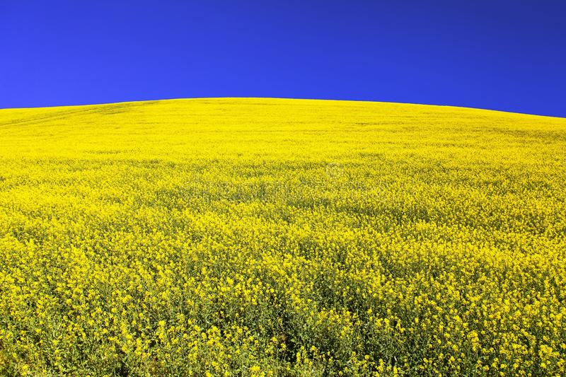 Field of flowering rapeseed, canola or colza. Golden field of flowering rapeseed, canola or colza with blue sky, brassica napus stock images