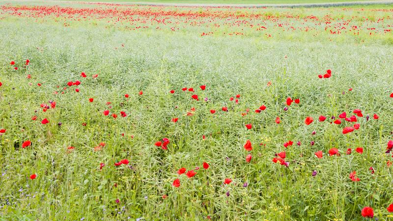 Field with flowering red poppies. Untreated nature. Ceased canola field in its natural state with flowering red and orange poppies and other wild flowers stock images
