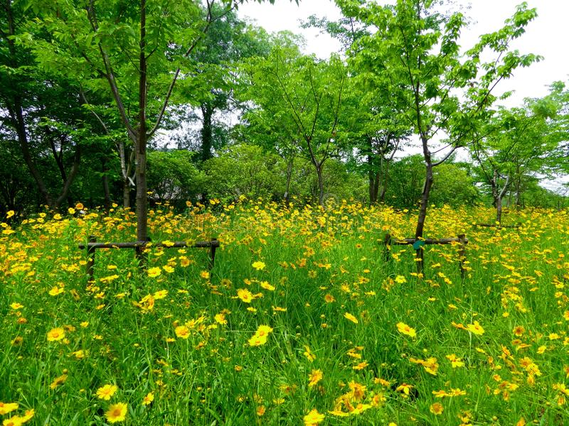 A field of coreopsis flowers blooming stock image