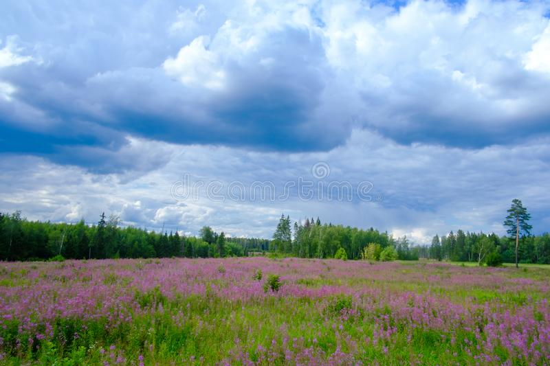 Field with flowers ivan tea and clouds stock photo