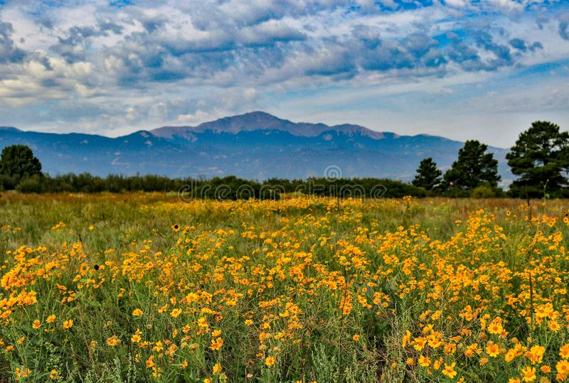 Field of flowers with Pikes Peak royalty free stock photos