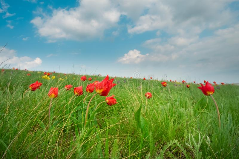 Field flowers red tulips on a bright green spring meadow with a deep blue cloudy sky stock photo