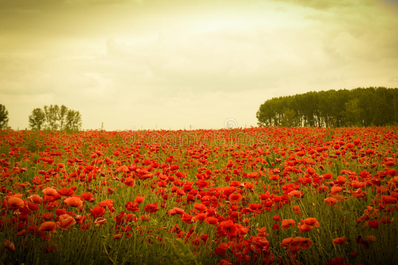 Field of flowers on sunset. With beautiful idyllic red poppies royalty free stock photo