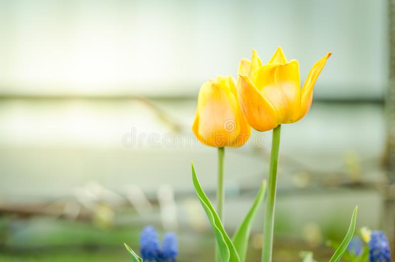 Field flowers tulips. Beautiful nature scene with blooming yellow tulips/Spring flowers. Spring background. Field flowers tulips. Beautiful nature scene with royalty free stock images