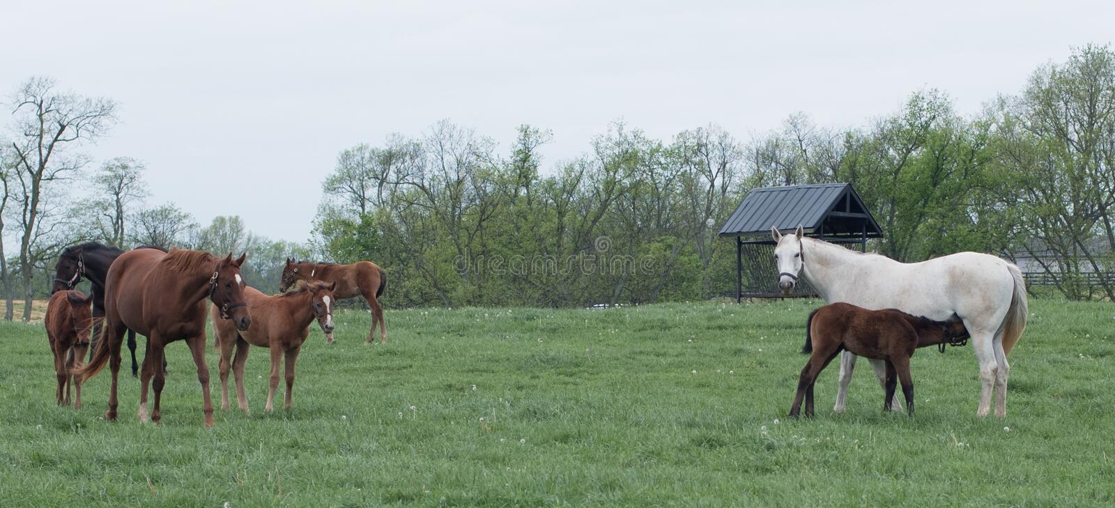Field of Foals. Spring time in Kentucky and fields of foals are every direction you look stock photos