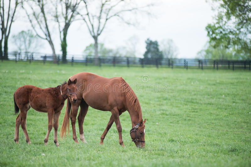 Field of Foals. Spring time in Kentucky and fields of foals are every direction you look stock images