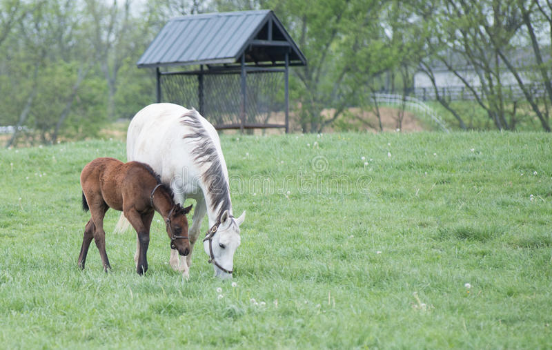 Field of Foals. Spring time in Kentucky and fields of foals are every direction you look stock image