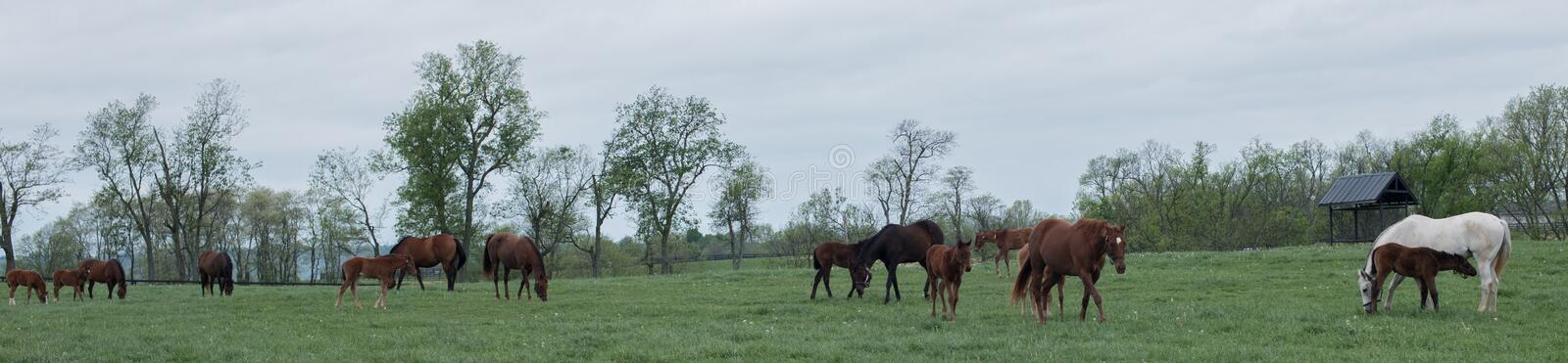 Field of Foals. Spring time in Kentucky and fields of foals are every direction you look royalty free stock images