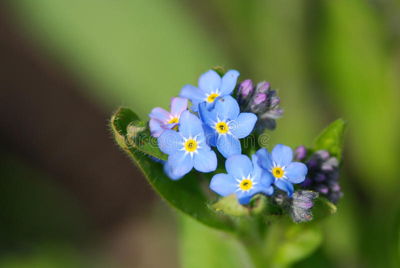 Field Forget-me-not. Beautiful field forget-me-not, green background royalty free stock photos