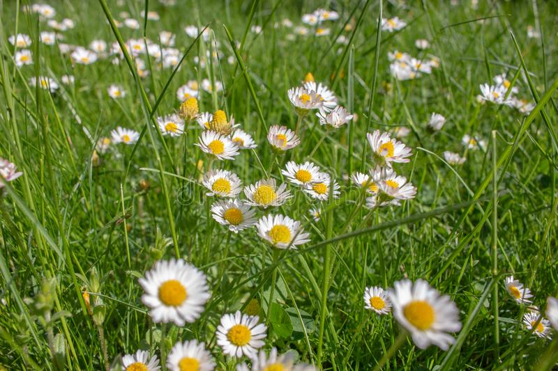 A field full of beautiful daisies royalty free stock photo