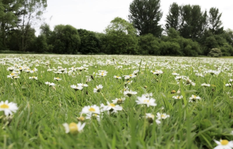Field full of daisys royalty free stock photography