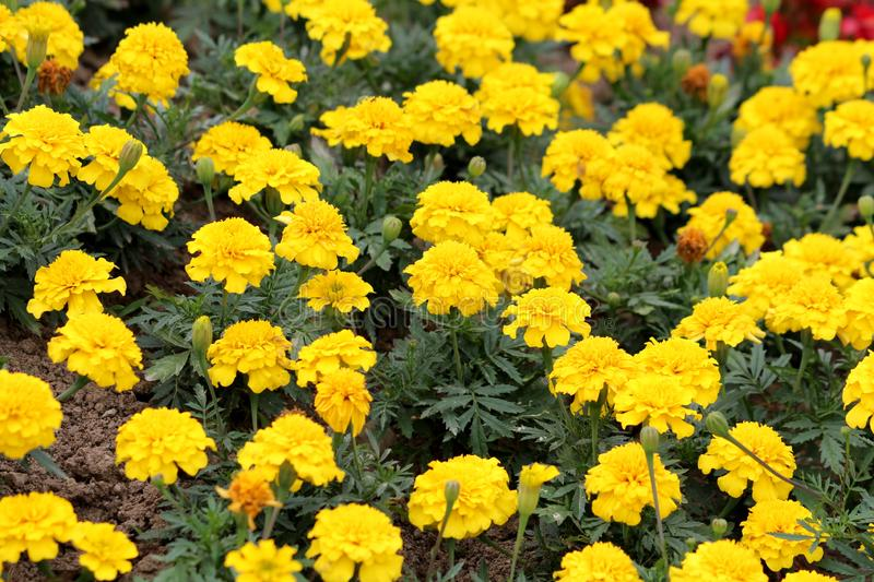 Field full of Mexican marigold or Tagetes erecta herbaceous annual plants with large flowerheads filled with dense yellow petals royalty free stock photography