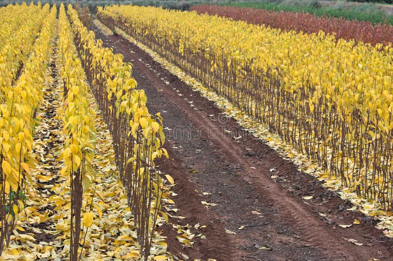 A field full of persimmon seedlings with ocher colored leaves stock image
