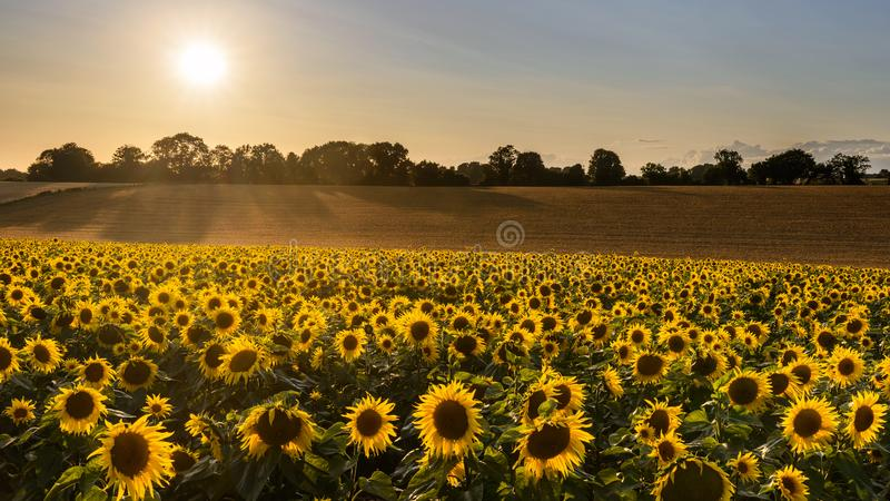 Sunflower harvest on a summer evening. A field full of sunflowers as the evening sun creeps towards the horizon at the end of a summers day stock image