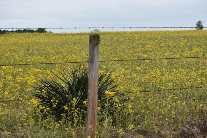 Field full of Yellow Flowers in East Texas. This was taken in East Texas, I was driving and looking for flowers. FYI Dog wood trees are all around Lake Lydia in royalty free stock images