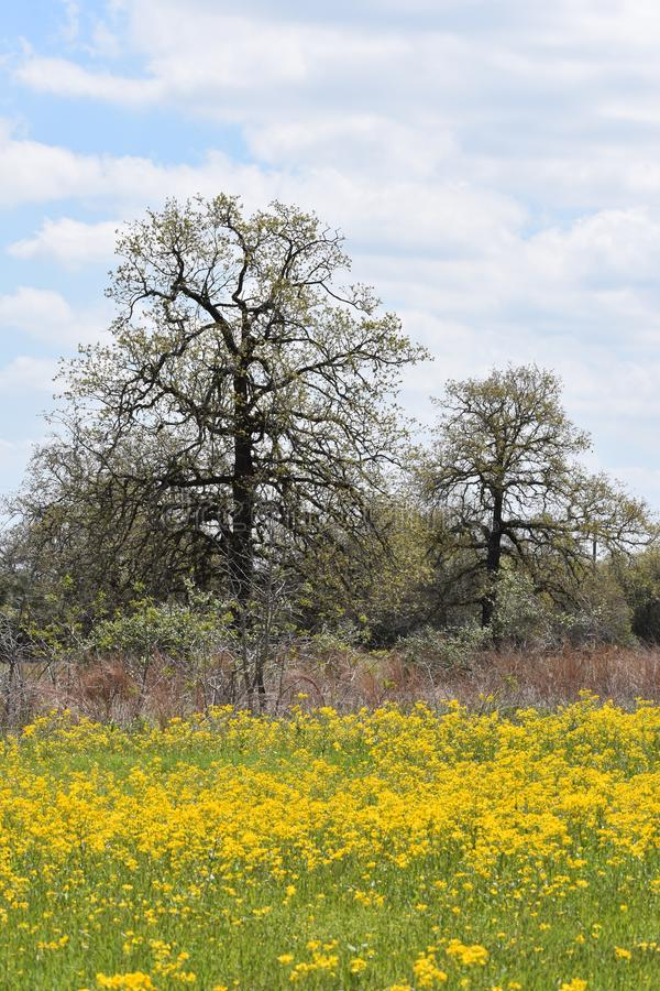 Field full of Yellow Flowers in East Texas. This was taken in East Texas, I was driving and looking for flowers. FYI Dog wood trees are all around Lake Lydia in royalty free stock photography