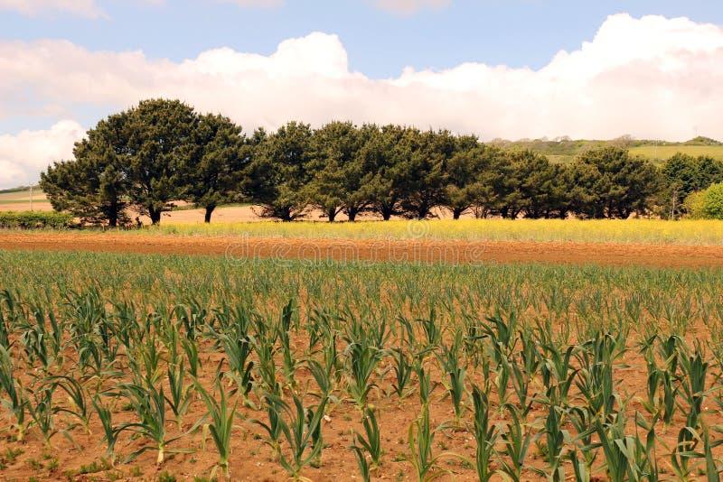Field of Garlic royalty free stock photo
