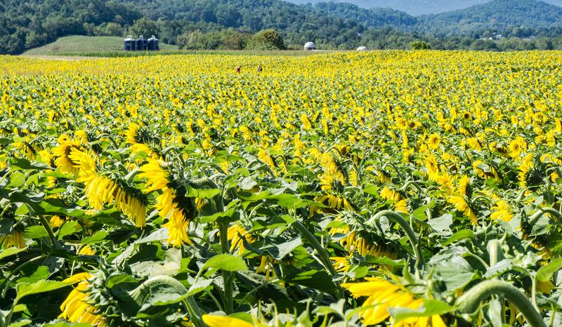 Field of Giant Sunflowers - 3 royalty free stock image
