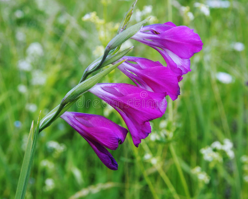 Field gladioluses - it is time floverings. royalty free stock photography