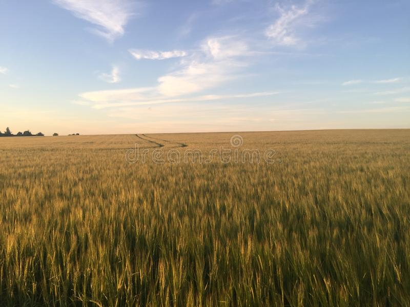 The Field of Gold royalty free stock photography