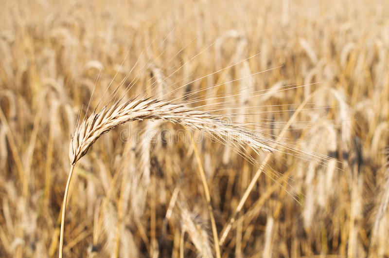 Download Field of golden grain stock image. Image of grass, natural - 26829121