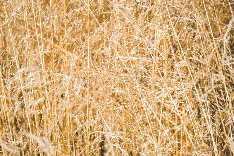 Field of golden grass stock photography