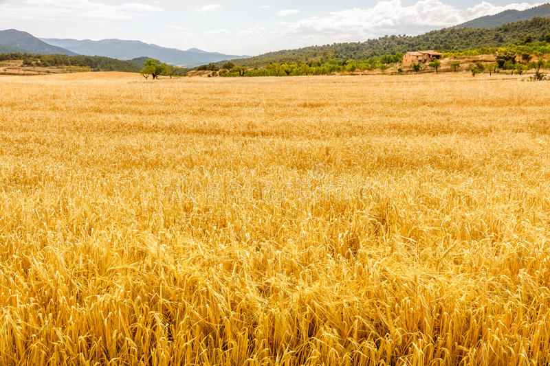 Field of Golden Oat royalty free stock photo