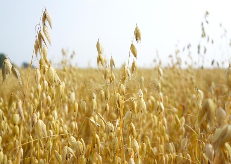 Field of golden oats royalty free stock photos