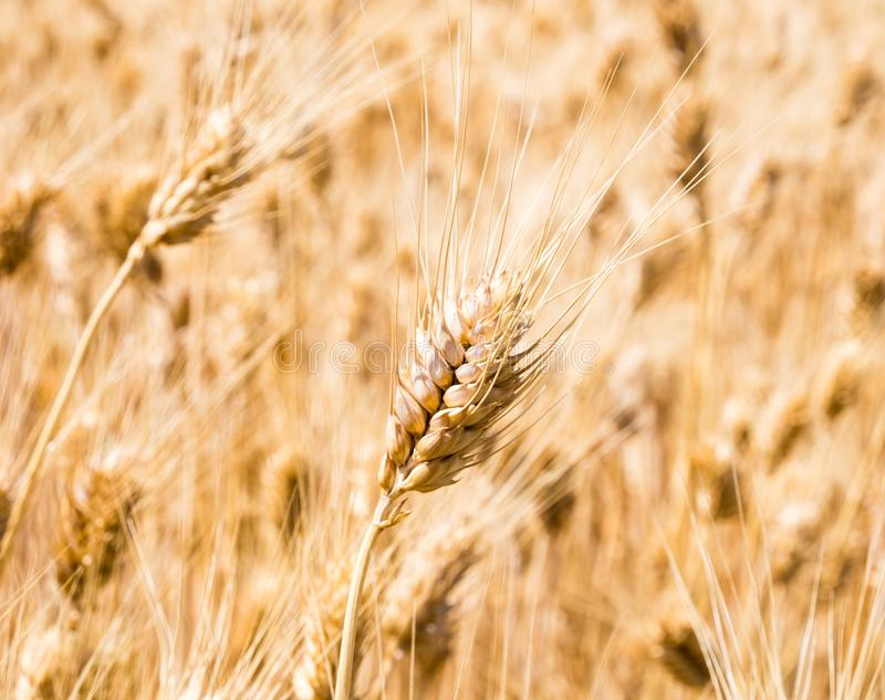 Wheat fields in Washington state, USA. Field of golden ripe wheat in Eastern Washington state, USA stock photos