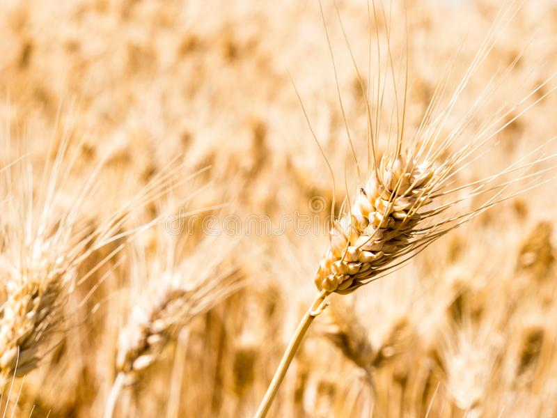 Wheat fields in Washington state, USA. Field of golden ripe wheat in Eastern Washington state, USA royalty free stock photos