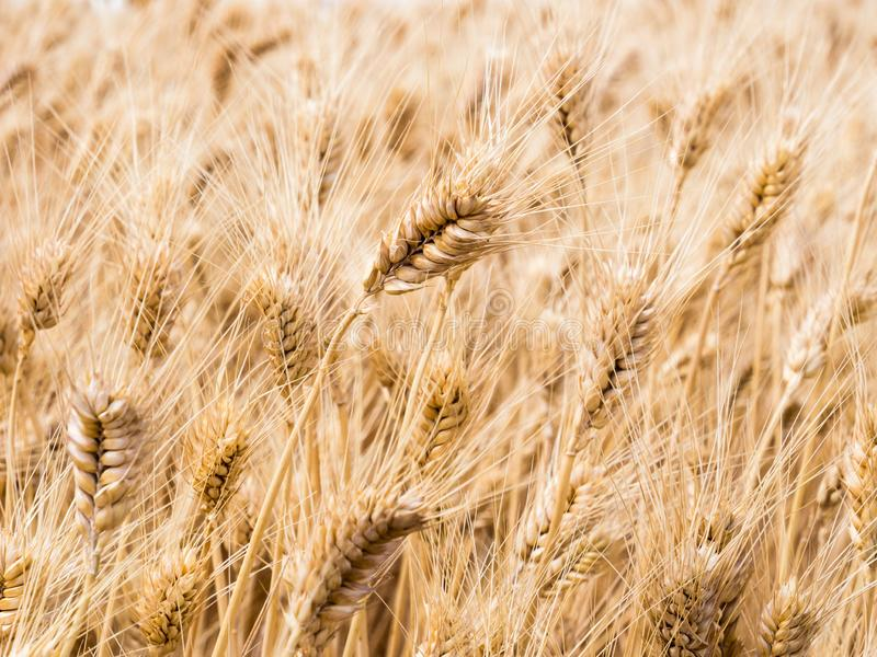Wheat fields in Washington state, USA. Field of golden ripe wheat in Eastern Washington state, USA stock image