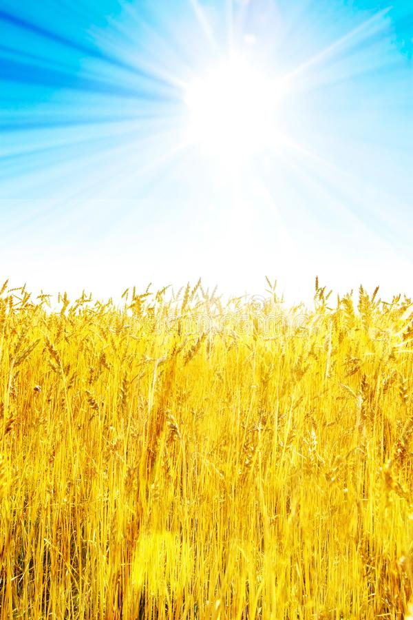 Field of golden wheat with bright blue sky and sun stock photos