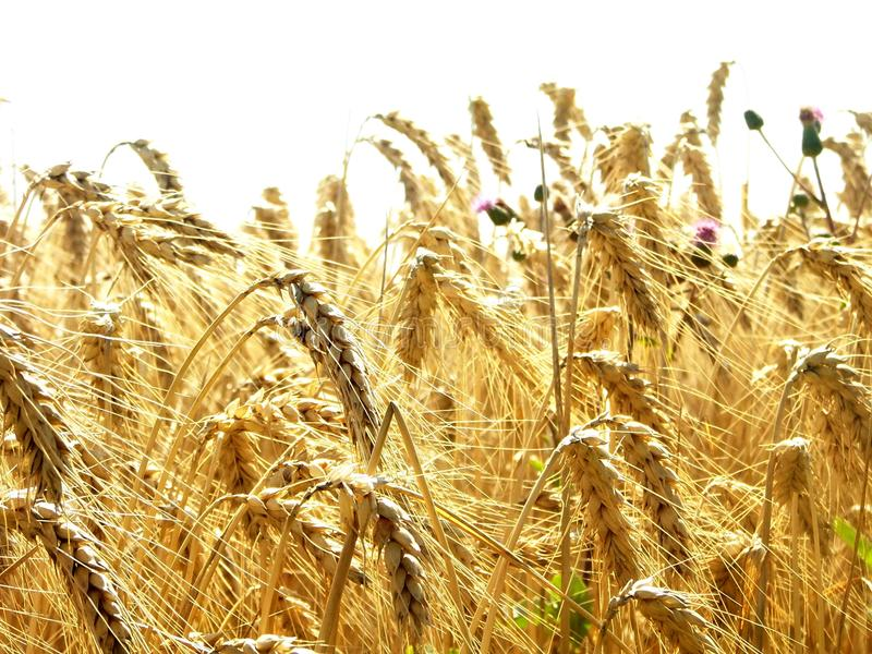 Field of golden wheat - I royalty free stock image