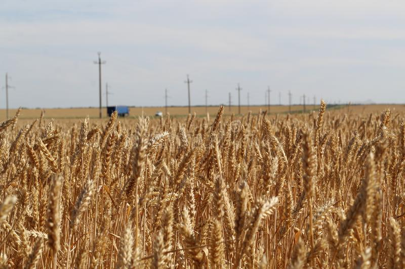 Field of Golden wheat under the cloudy sky and barely visible in the distance track with cars.  royalty free stock photo