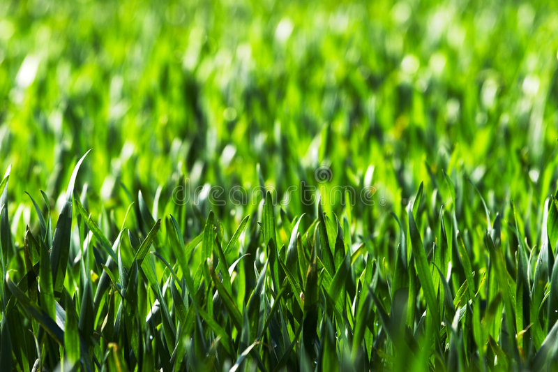 Field of grain. Green field of growing grain royalty free stock image
