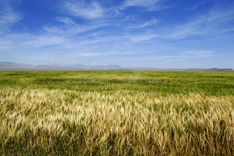 Field of Grain stock images
