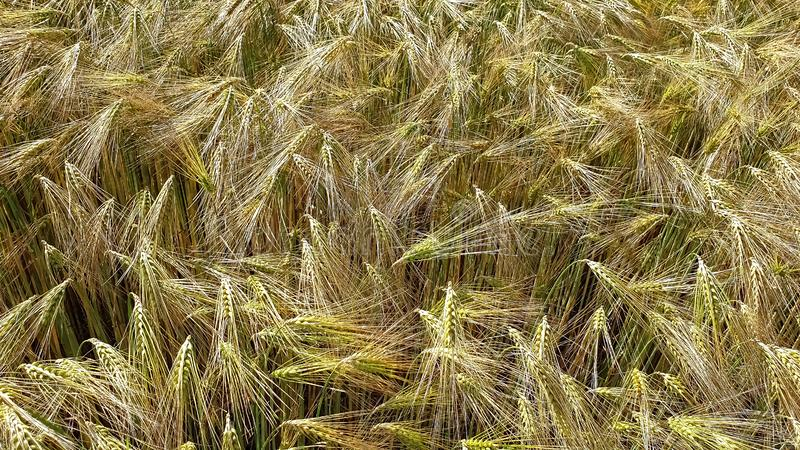 Field of grain royalty free stock photography