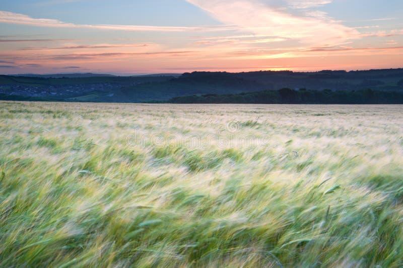 Field of grain blowing in wind Summer sunset